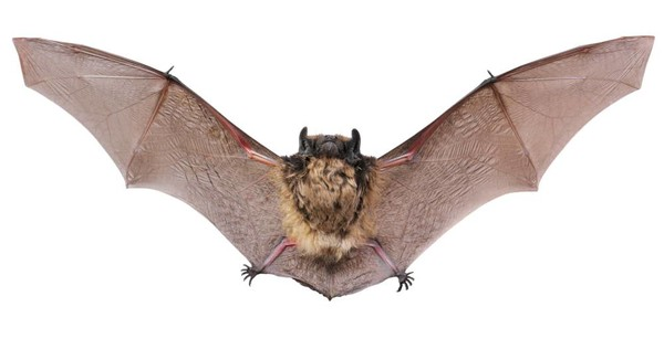 Bats Are Able To Fly With Such Breathtaking Precision Because Their Wings Send Data About Even Minuscule Changes In Airflow Brains